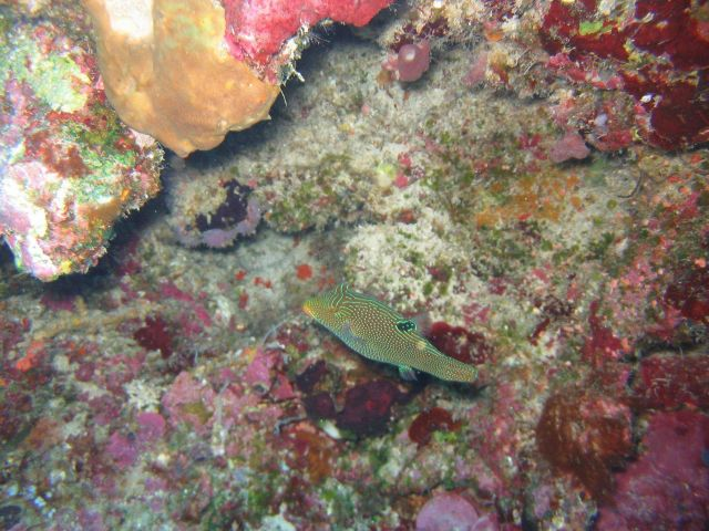 Ambon toby (Canthigaster amboinensis) Picture