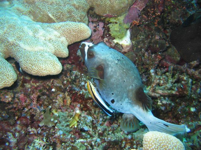 Blackspotted puffer (Arothron nigropuctatus) Picture