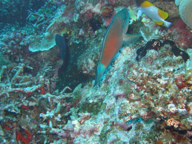 Tentatively identified as a bullethead parrotfish Picture