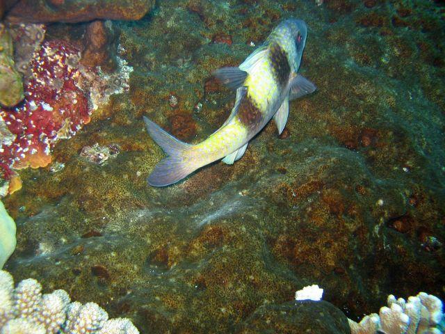 Doublebar goatfish (Parupeneus trifasciatus) Picture