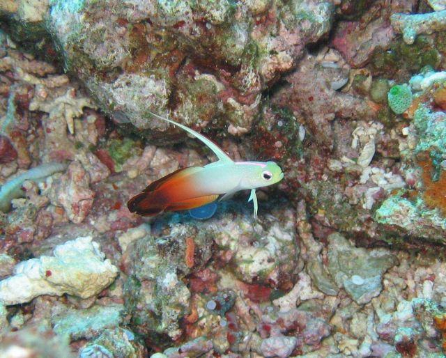 Fire dartfish (Nemateleotris magnifica) Picture