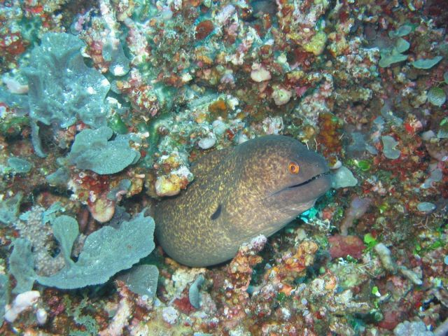 Giant moray (Gymnothorax javanicus) Picture