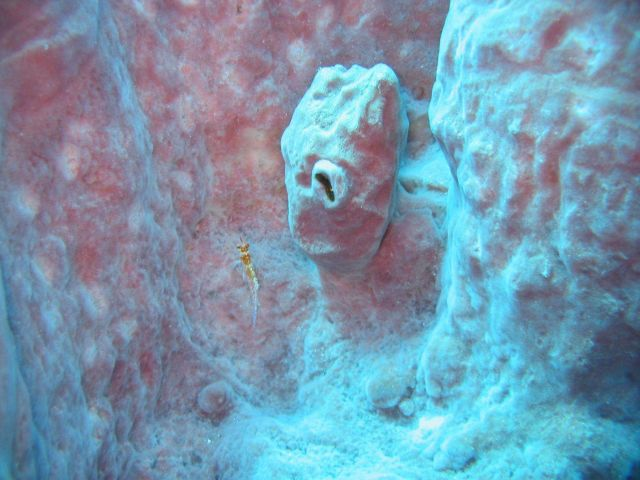 Hawkfish in sponge Picture