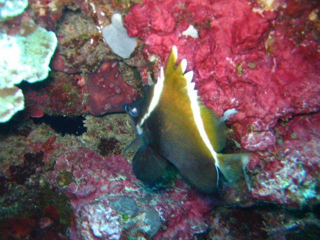 Humphead bannerfish (Heniochus varius) Picture