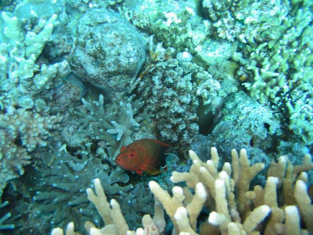 Unidentified red fish Picture
