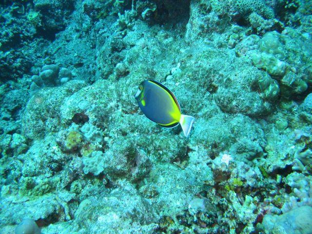 Japanese surgeonfish (Acanthurus japonicus) Picture