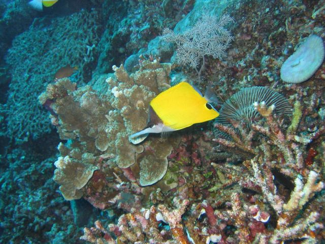 Longnose butterflyfish (Forcipiger longirostris) Picture