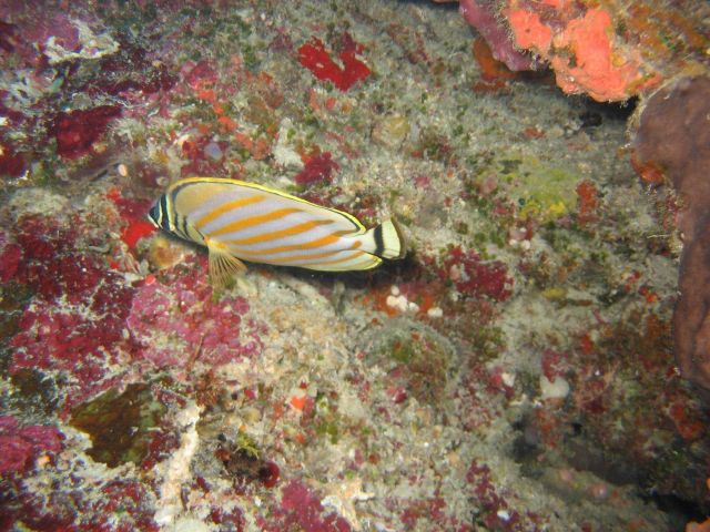 Ornate butterflyfish (Chaetodon ornatissimus) Picture
