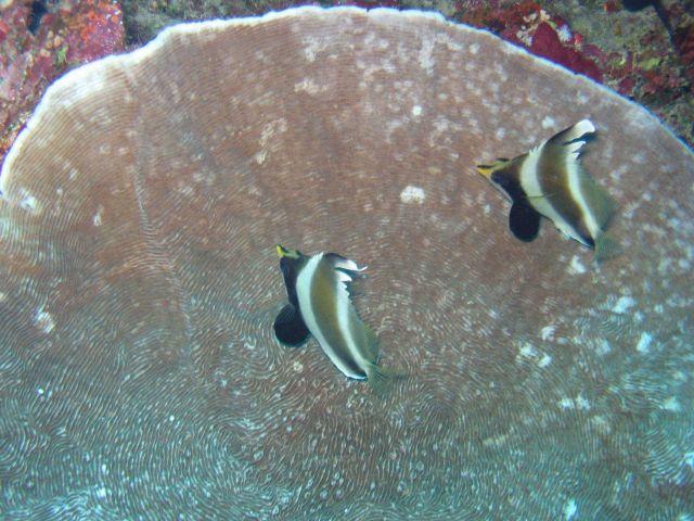 Pennant bannerfish (Heniochus chrysostomus) Picture