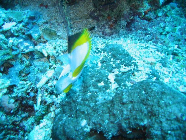 Pyramid butterflyfish (Hemitaurichthys polylepis) Picture