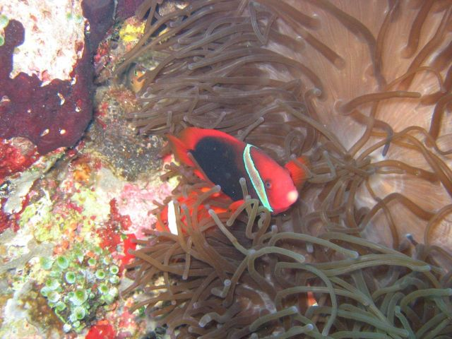 Red and black anemonefish (Amphiprion melanopus) Picture