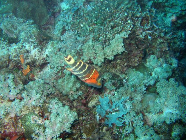 Redbreasted wrasse (Cheilinus fasciatus) Picture