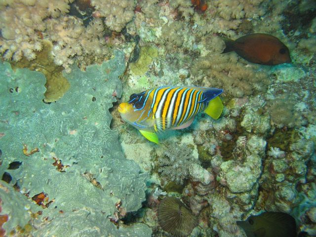 Regal angelfish (Pygoplites diacanthus) Picture