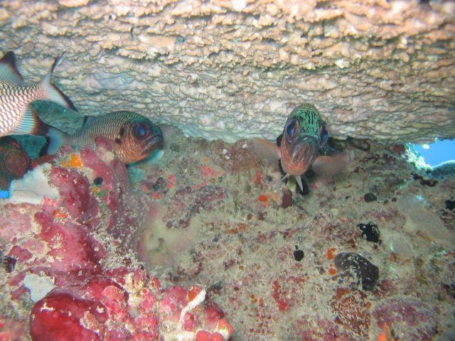 Shadowfin soldierfish (Myripristis adusta) Picture