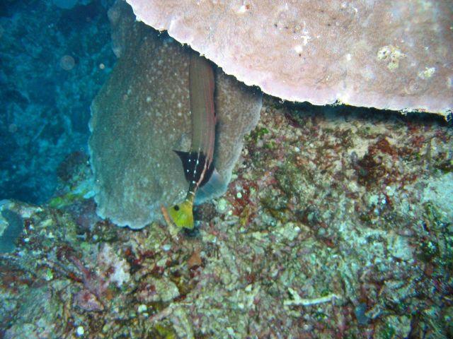Trumpetfish (Aulostomus sp.) Picture