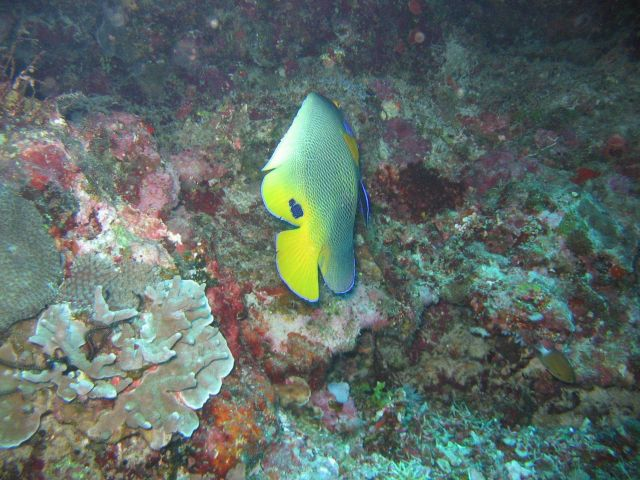Yellow mask angelfish (Pomacanthus xanthometopon) Picture
