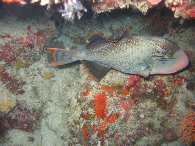 Yellowmargin triggerfish (Pseudobalistes flavimarginatus) Picture