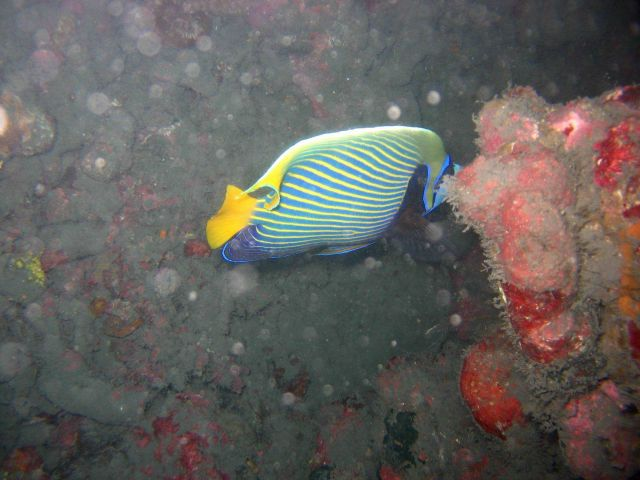 Emperor angelfish (Pomacanthus imperator) Picture