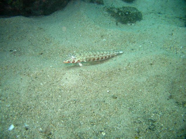 Latticed sandperch (Parapercis clathrata) Picture