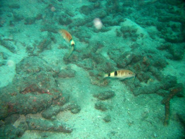 Manybar goatfish (Parupeneus multifasciatus) Picture