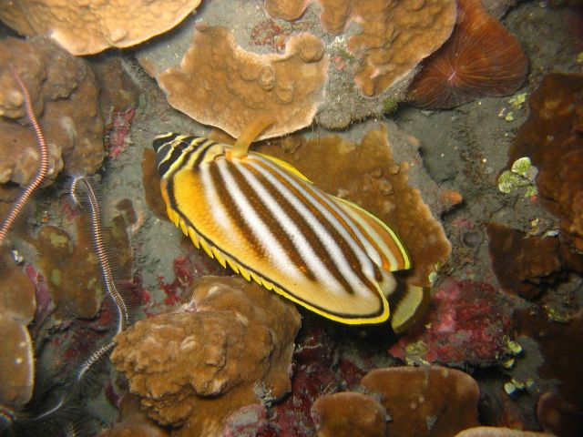 Ornate butterflyfish (Chaetodon ornatissimus) at night. Picture