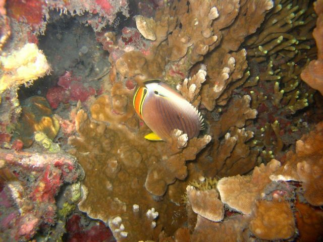 Oval butterflyfish (Chaetodon ovalis) Picture