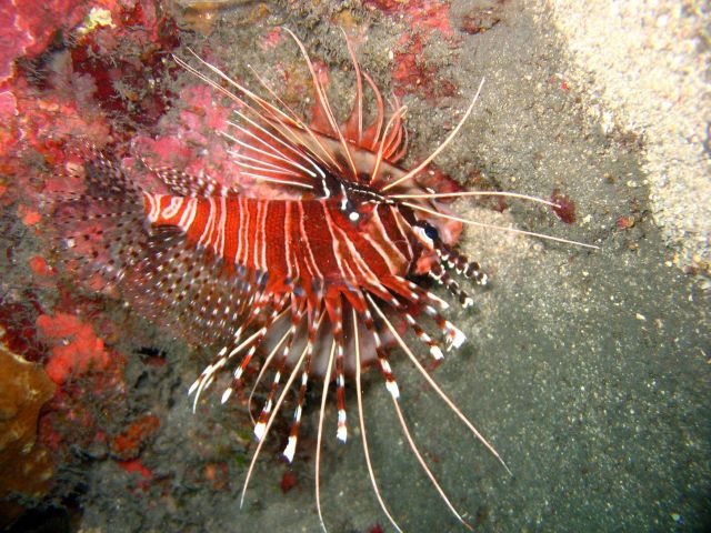 Appears to be spotfin lionfish (Pterois antennata) Picture