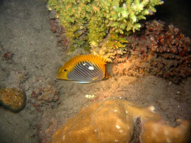 Spottail butterflyfish (Chaetodon ocellicaudus) Picture