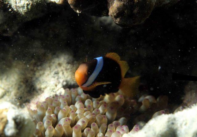 Anemone fish Picture