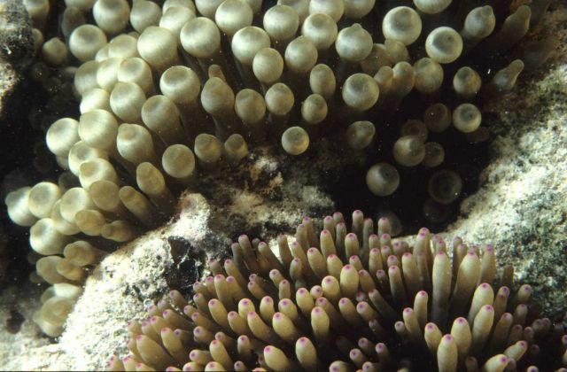 Anemone tentacles Picture