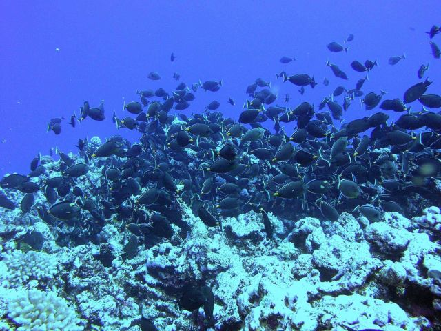 A school of surgeonfish. Picture
