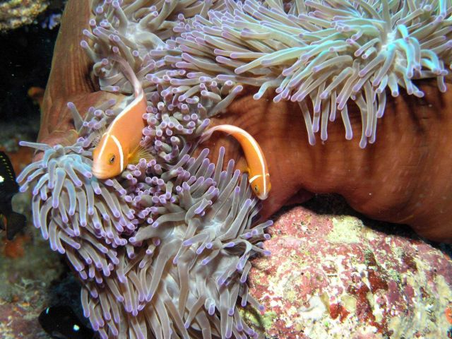 Pink anemonefish (Amphiprion perideraion) Picture