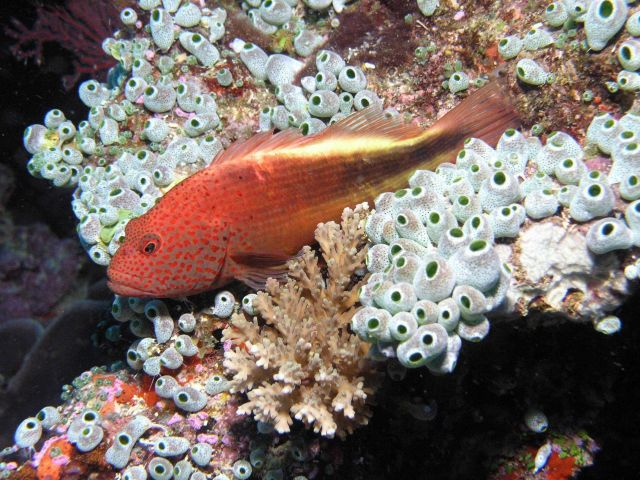 Freckled hawkfish (Paracirrhites forsteri) Picture
