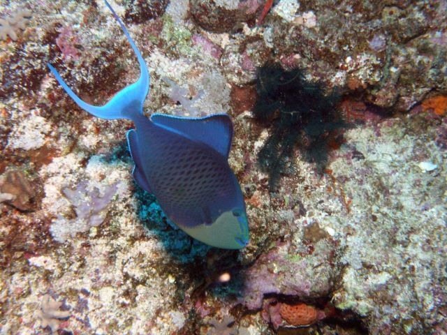 Niger triggerfish (Odonus niger) Picture