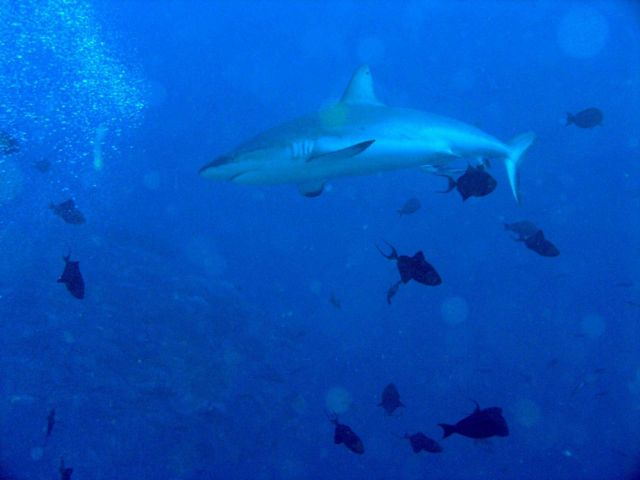 Galapagos shark cruising through a school of triggerfish. Picture