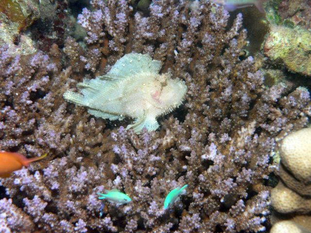 Leaf fish or leaf stonefish (Taenianotus triacanthus) Picture
