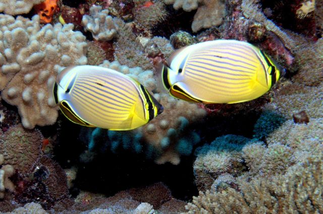 Redfin butterflyfish (Chaetodon lunulatus) Picture