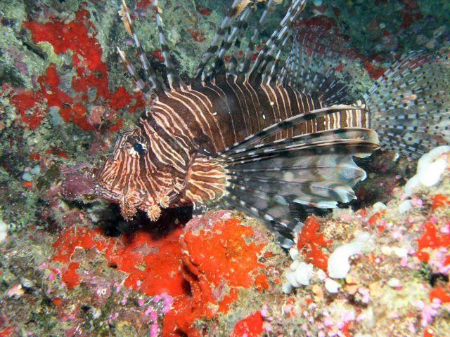 Lionfish (Pterois volitans) Picture