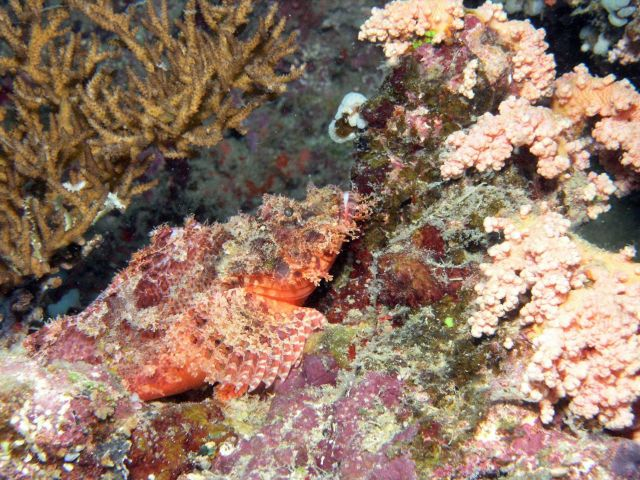False stonefish (Scorpaenopsis diabolus) Picture