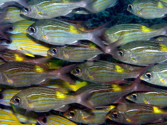 Schooling fish Picture