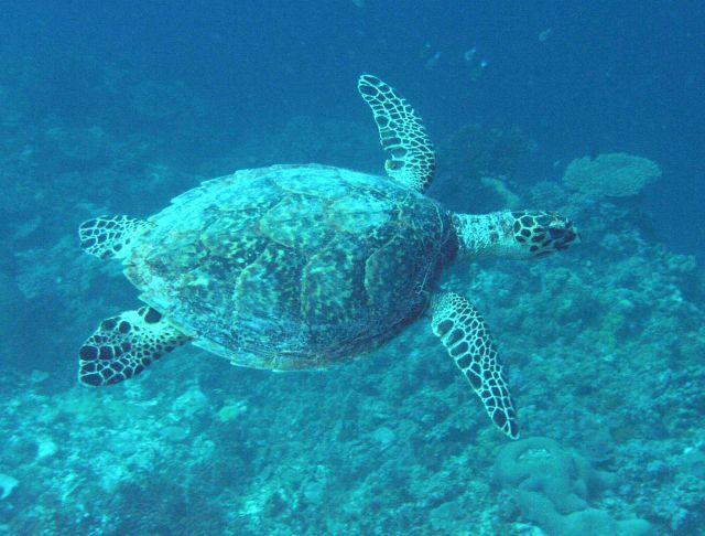 Sea turtle. Picture