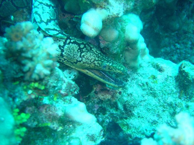 Mosaic moray eel Picture