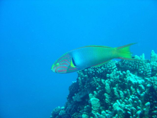 Sunset wrasse Picture