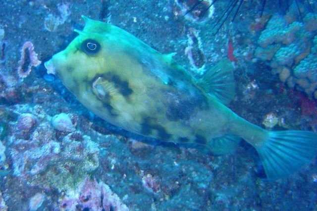 Cowfish Picture