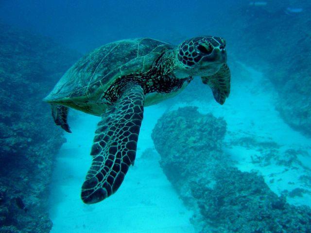 A green sea turtle Picture