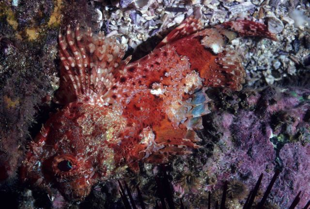 Scorpion fish Picture
