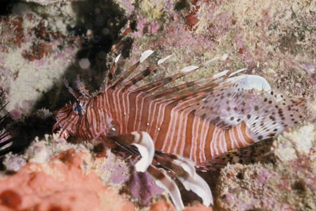 Lion fish (Pterois volitans) Picture
