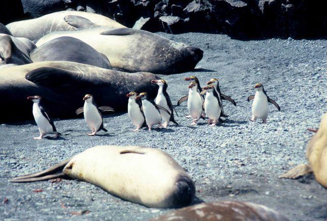 Royal Penguins & elephant seals. Picture