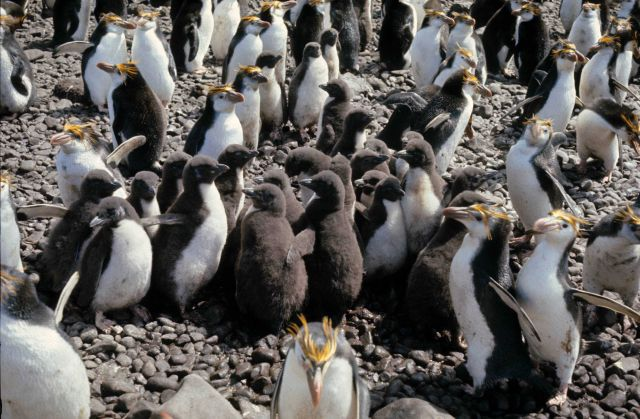 Royal Penguins & chicks. Picture