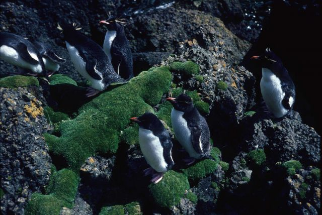 Rockhopper Penguins. Picture